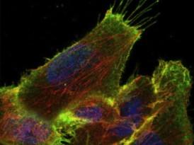 ¿Cómo viajan las células a través del cuerpo?