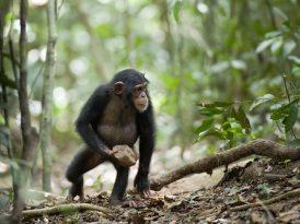 El cruel asesinato que desató la primera guerra entre primates no humanos de la historia