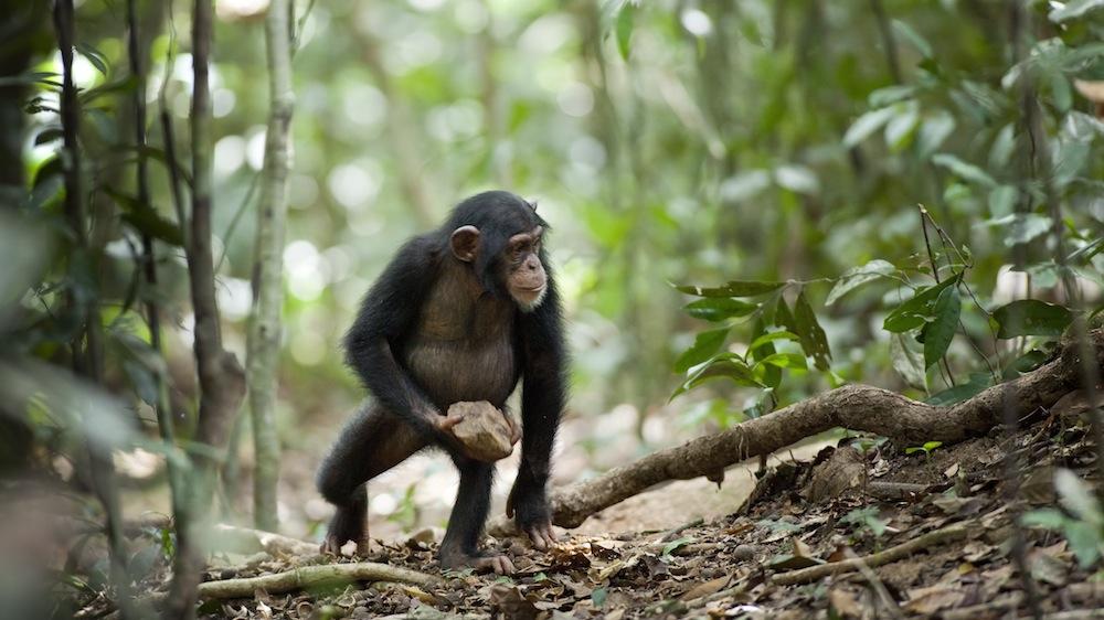 ML_chimp-15