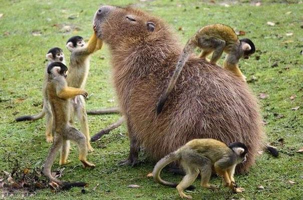 los-capibaras-son-animales-extremadamente-sociables-4